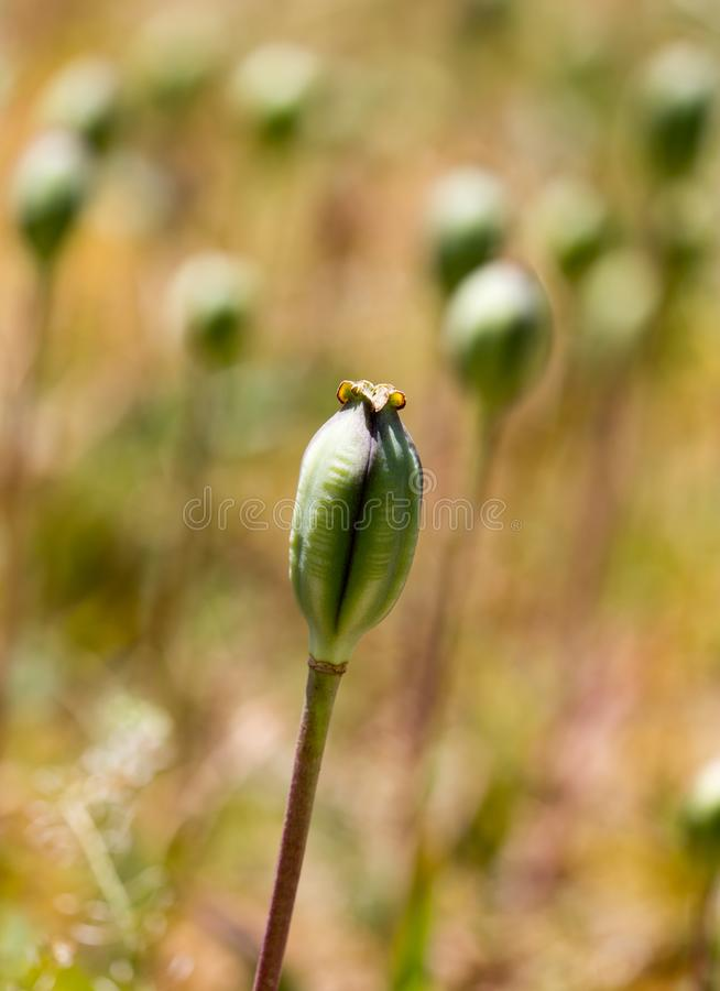 Closed flower bud of opium poppy in nature stock images