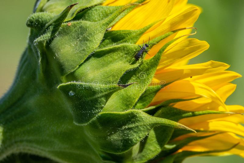 Insect on closed sunflower opening stock photo
