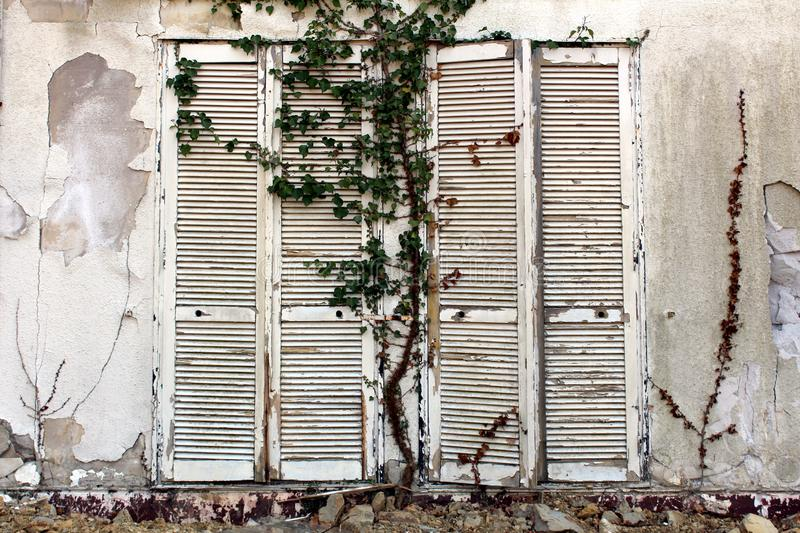 Closed tall wooden white dilapidated window blinds mounted on cracked wall of abandoned hotel building with crawler plants and royalty free stock photography