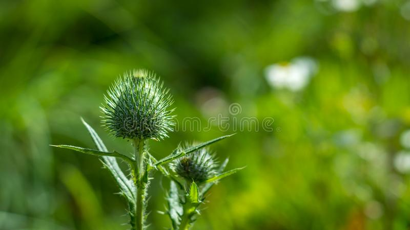 Closed thistle blossom in green field stock image