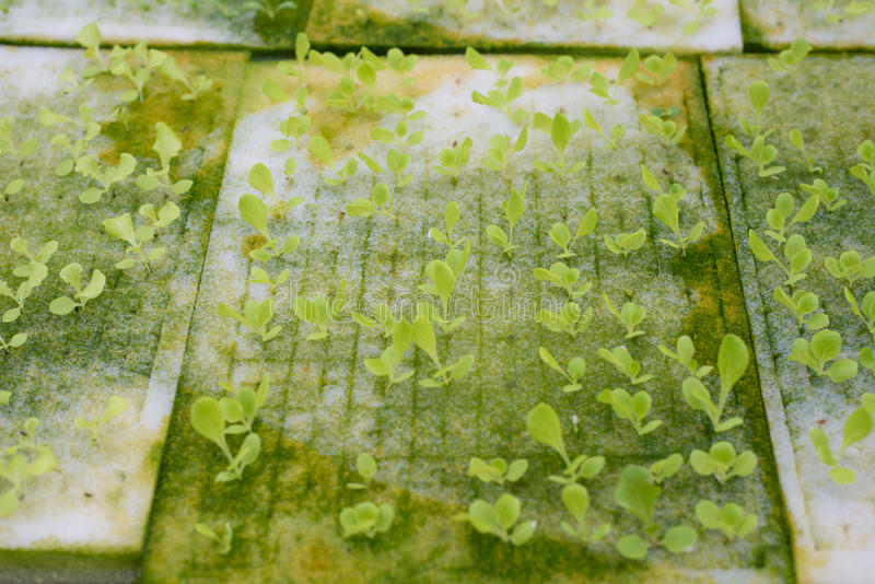 Closed up baby lettuce in Hydroponic farm stock image