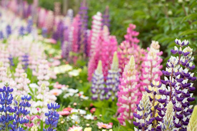 Closed up of beautiful multi color of lupine flower royalty free stock photo