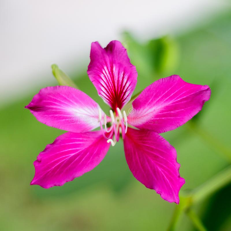Closed up beautiful pink flower Bauhinia purpurea or Butterfly stock photography