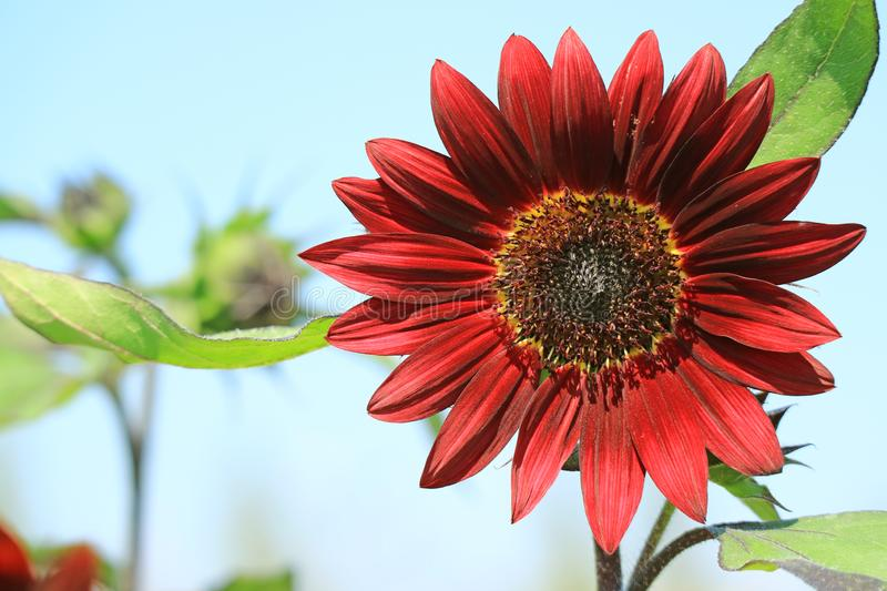 Closed Up Blooming Deep Red Sunflower Against Sunny Blue Sky stock photos