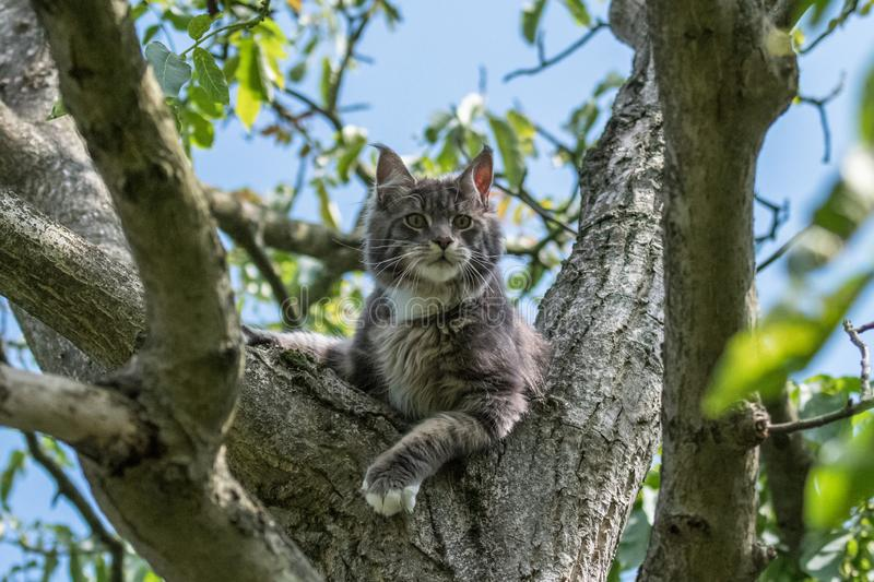 Closed up of domestic adorable black grey Maine Coon kitten, young peaceful cat in sunshine day royalty free stock photo