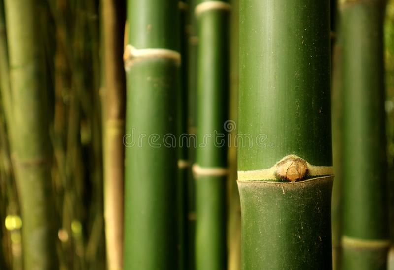 Closed up green bamboo tree trunk of the bamboo forest in Thailand, selective focus and blurred background. Beauty in Nature stock photos