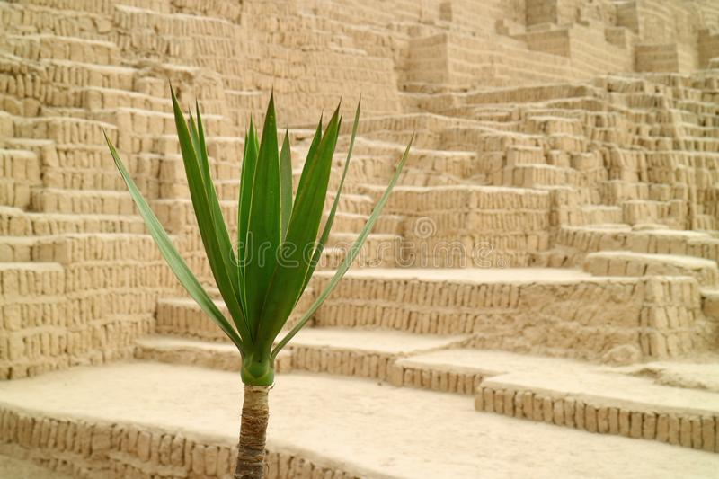 Closed up green plant with blurry Huaca Pucllana ancient structure in background, Miraflores, Lima, Peru. South America administrative adobebuilding amazing royalty free stock photos