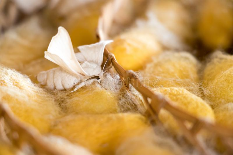 Closed up of group yellow cocoon of silk worm and butterfly still breed in weave nest background. Silkworm, natural, material, fabric, texture, textile royalty free stock image