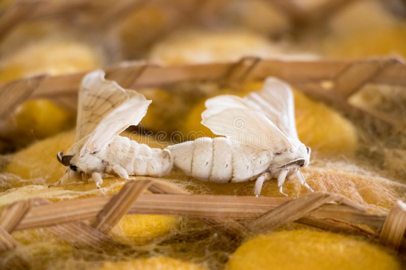 Closed up of group yellow cocoon of silk worm and butterfly still breed in weave nest stock photo