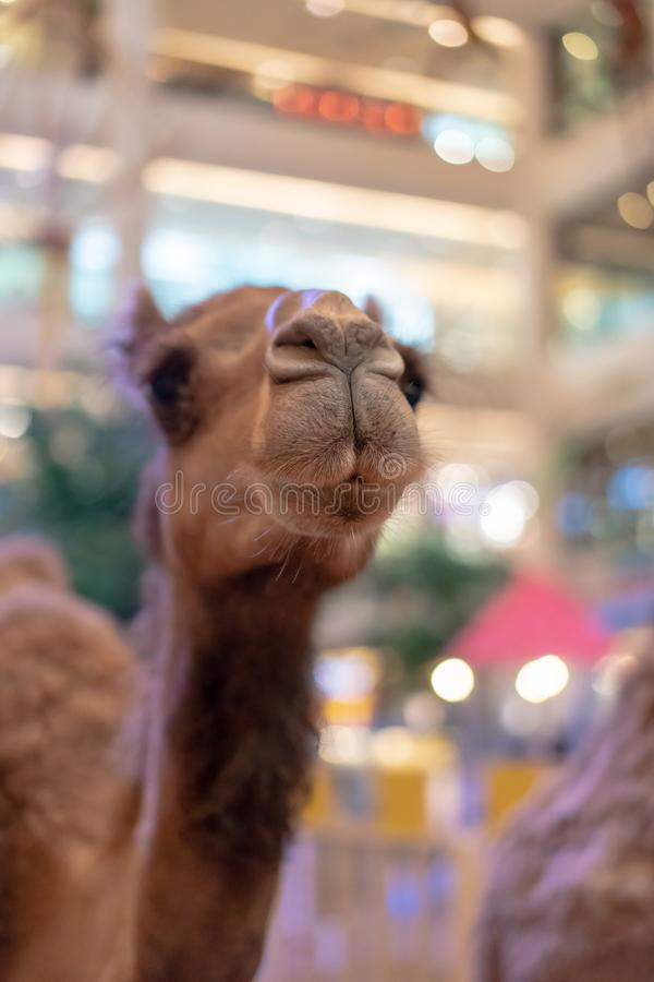 Closed up light brown alpaca`s mouth with depth of field. Innoce stock photos