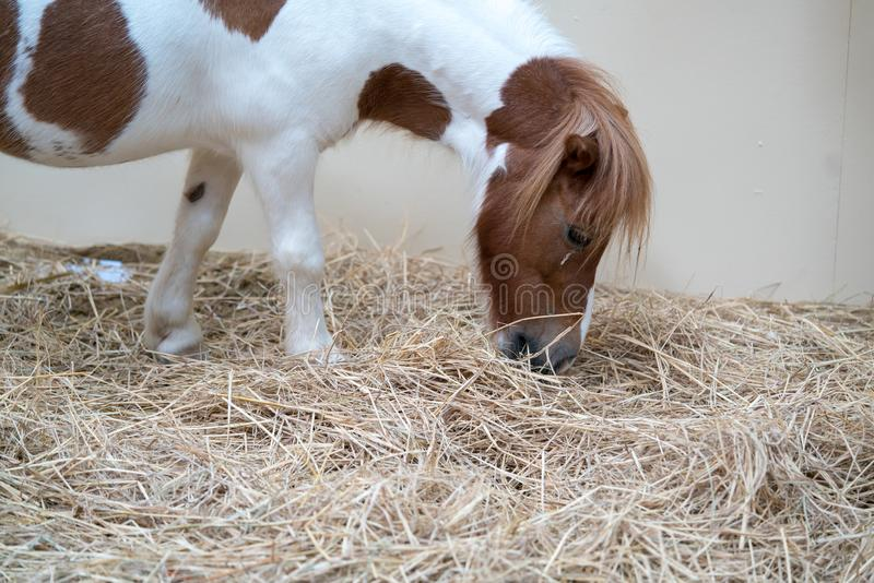 Closed up miniature white horse with brown spot eating dried straw. In farm stock photography