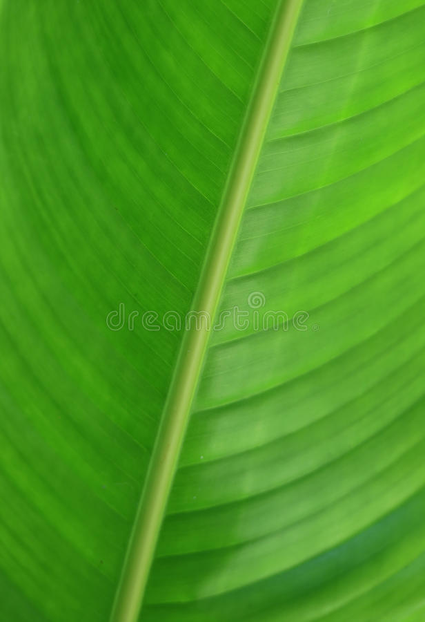 Closed up of pattern and texture of tropical plant vibrant green big leaf. Vertical picture, Background royalty free stock image