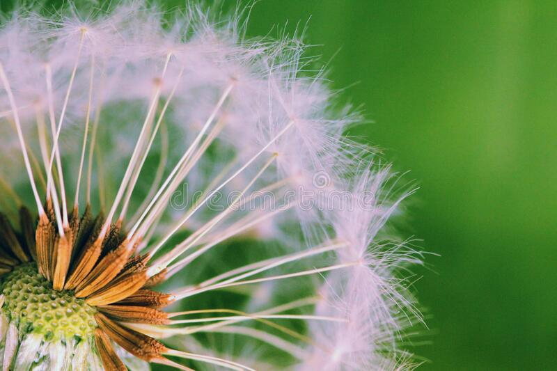 Closed Up Photograph of Dandelion Seeds stock images
