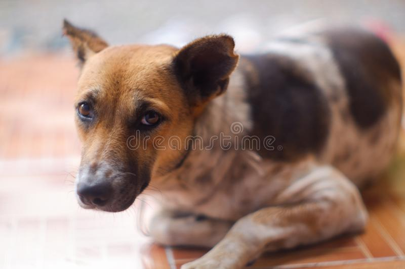 Closed up Thai dog brown and white colors sleep on brown floor stock photography