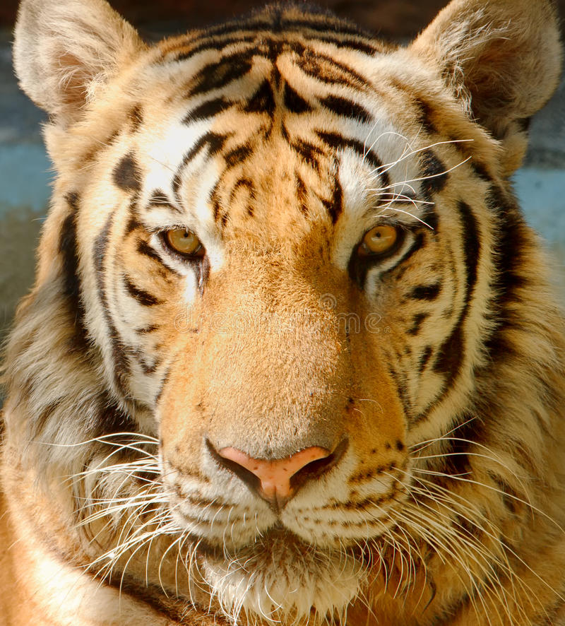 Closed-up Tiger face. The zoo safare thailand stock photography