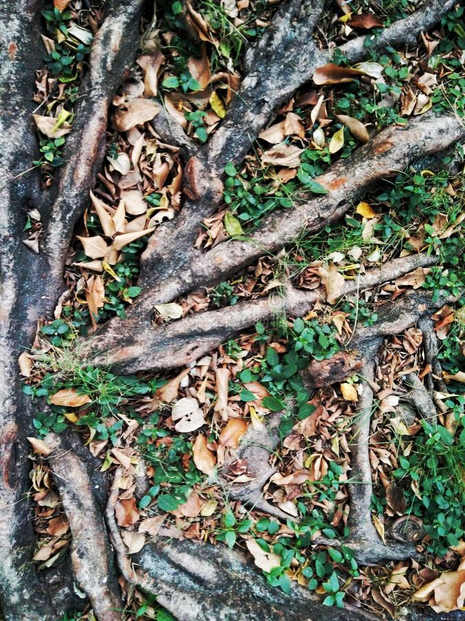 Closed up tree roots with little plant. Tree roots and little plant stock photography