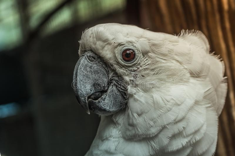 Closed up white macaw bird around with natural. Background royalty free stock images