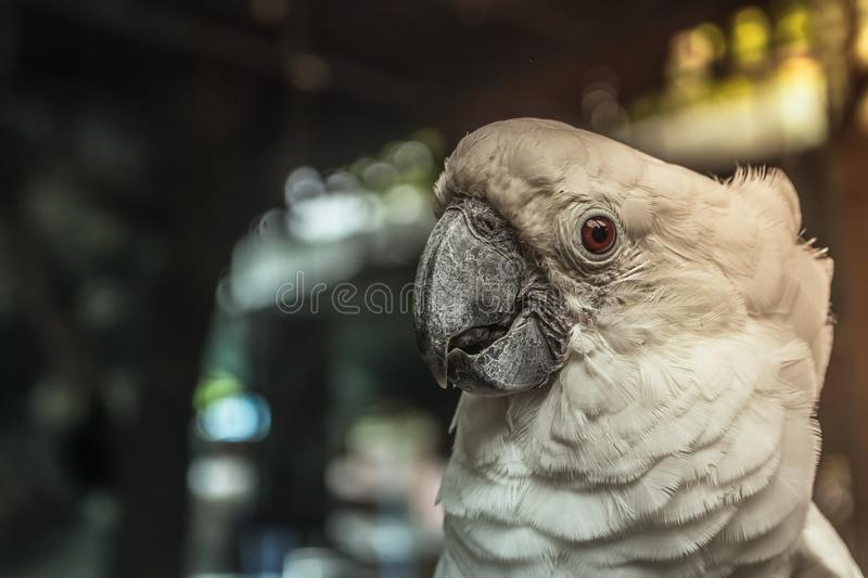 Closed up white macaw bird around with natural. Background royalty free stock photography