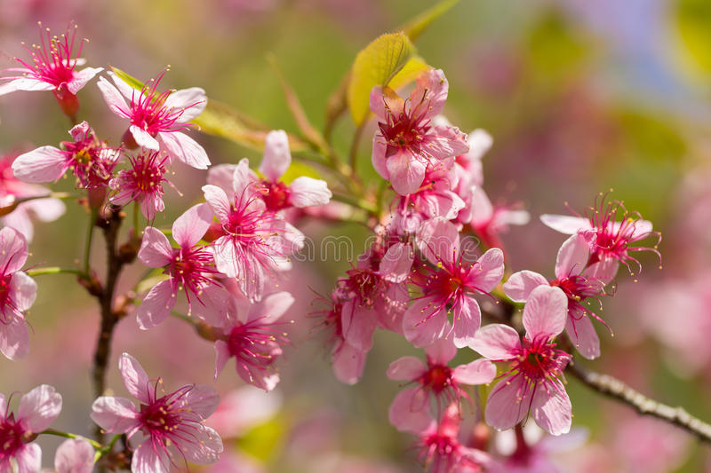 Closed-up Wild Himalayan Cherry blossom. Closed-up Wild Himalayan Cherry blossom royalty free stock photos