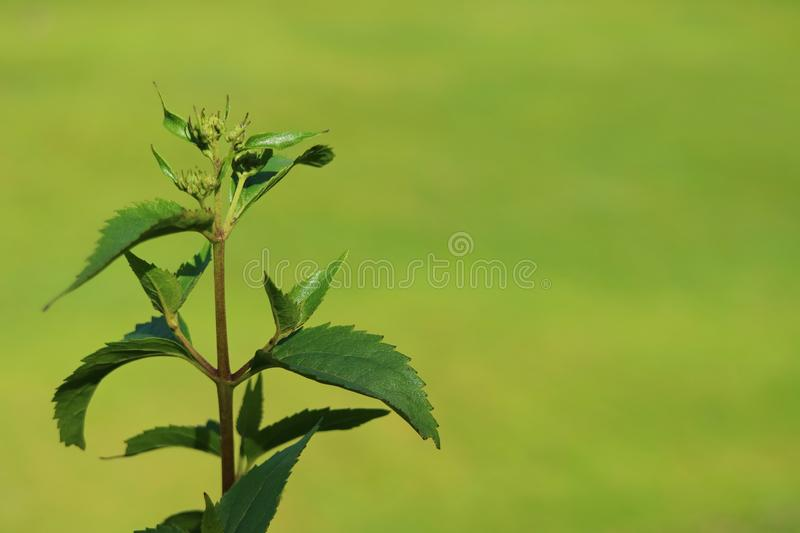 Closed up young tree leaves in the sunlight with blurred vibrant green grass field in background. Beauty in Nature royalty free stock photo