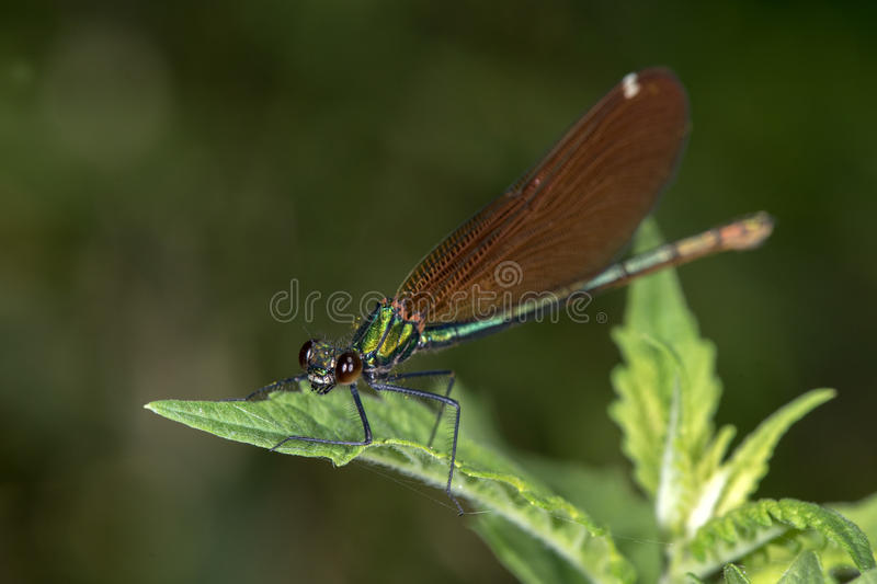 Closed wings red dragonfly macro on black. Red dragonfly on a green branch background stock images