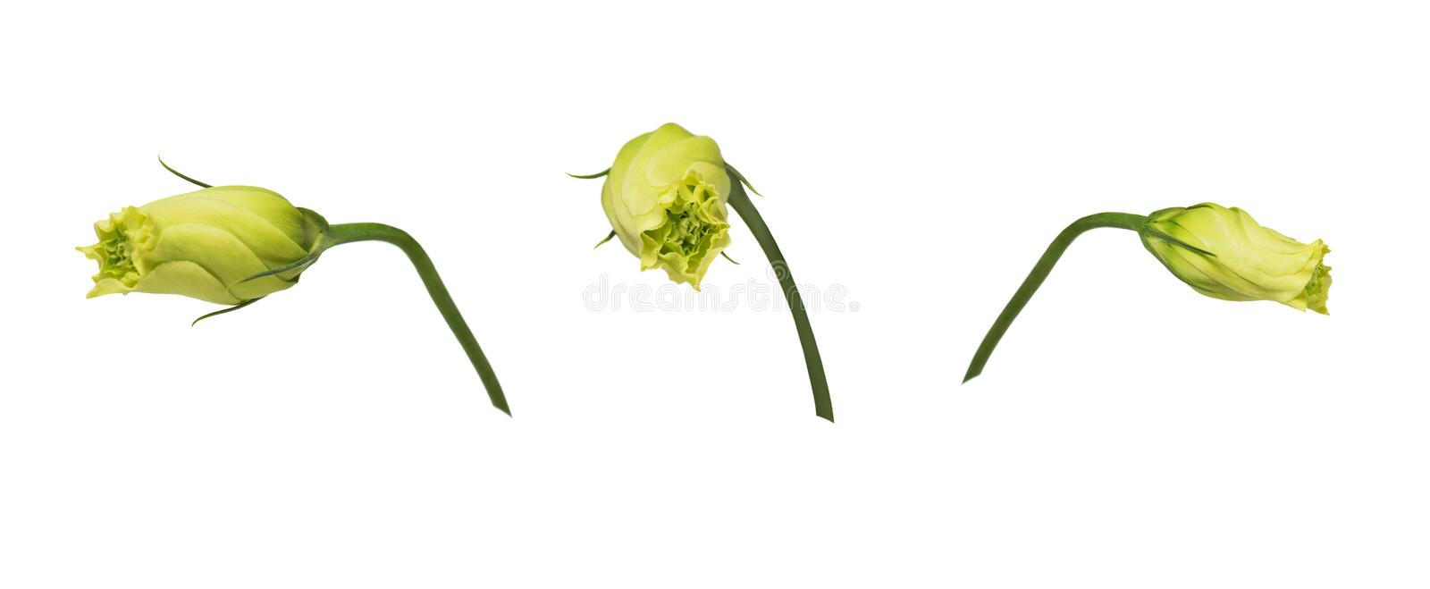 Closed yellow eustoma buds prairie gentian isolated on white background. Set of images. One flower shot at different angles. Side and front view royalty free stock images