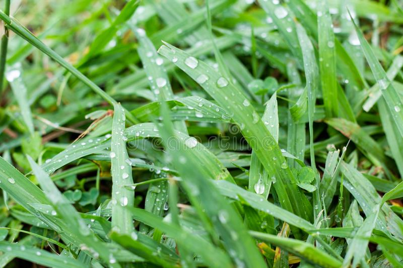 Closely photographed grass with water drops. Wet green, long grass stock image