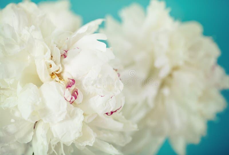 closen blommar pionen upp white arkivfoton