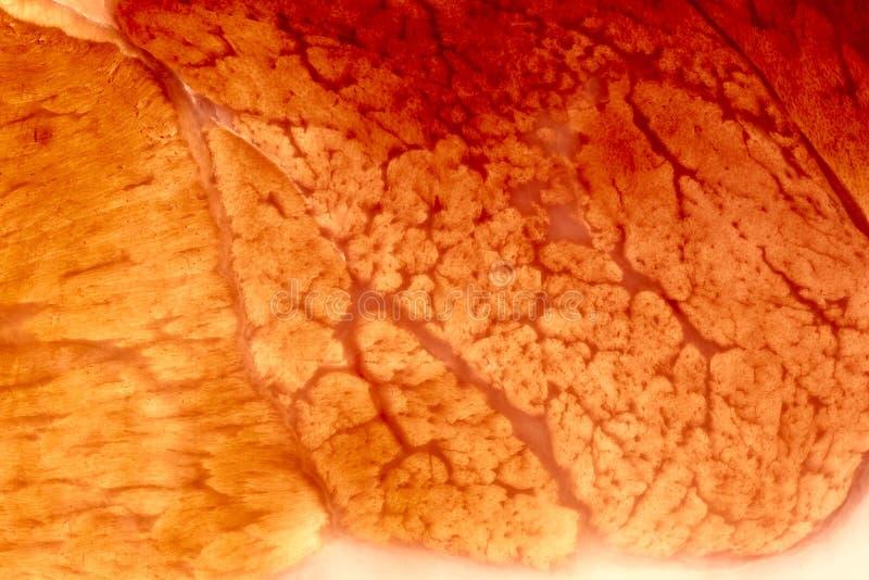 closep ιστός μυών xxl στοκ εικόνα