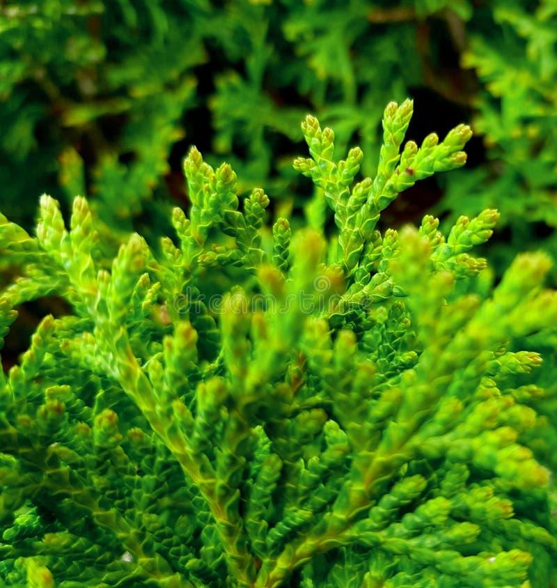 Closep d'occidentalis de Thuja Couleur verte intensive photographie stock libre de droits