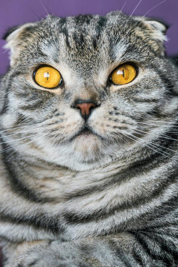 Closer look of the Scottish fold cat on a purple background. Portrait stock photography