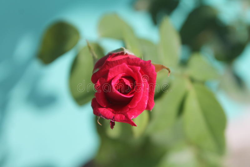 A closer view of my rose stock image