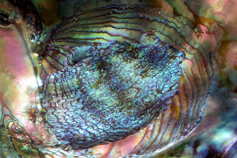 Closeup Of Abalone Shell Free Public Domain Cc0 Image