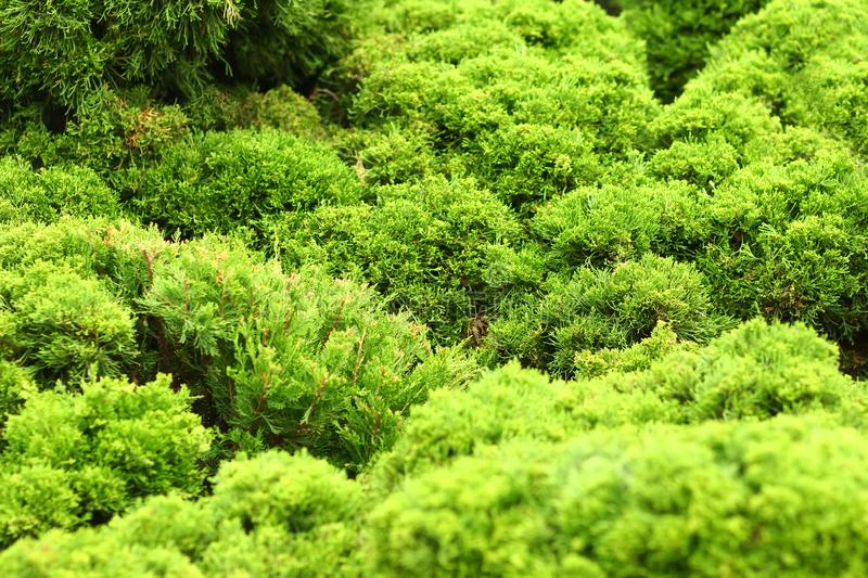 Closeup abstract background of bright green coniferous thujas. Close up abstract background of bright green coniferous thujas stock photography
