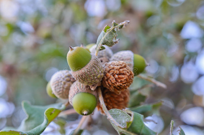 Download Closeup Of Acorn In The Wood Stock Image - Image: 26585509