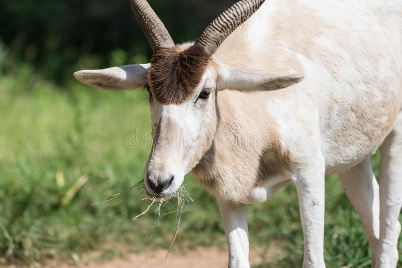 Closeup of addax antelope face. Eating grass with shallow depth of field stock image