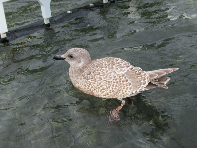 Closeup Adorable Juvenile Seagull Swimming In The Fountain Water stock photos