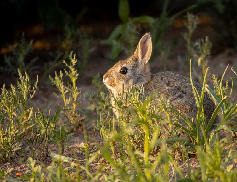Closeup of adorable rabbit out in a field in evening light. Closeup of adorable rabbit in evening light out in a field. Nature, seasonal, educational concepts stock photo