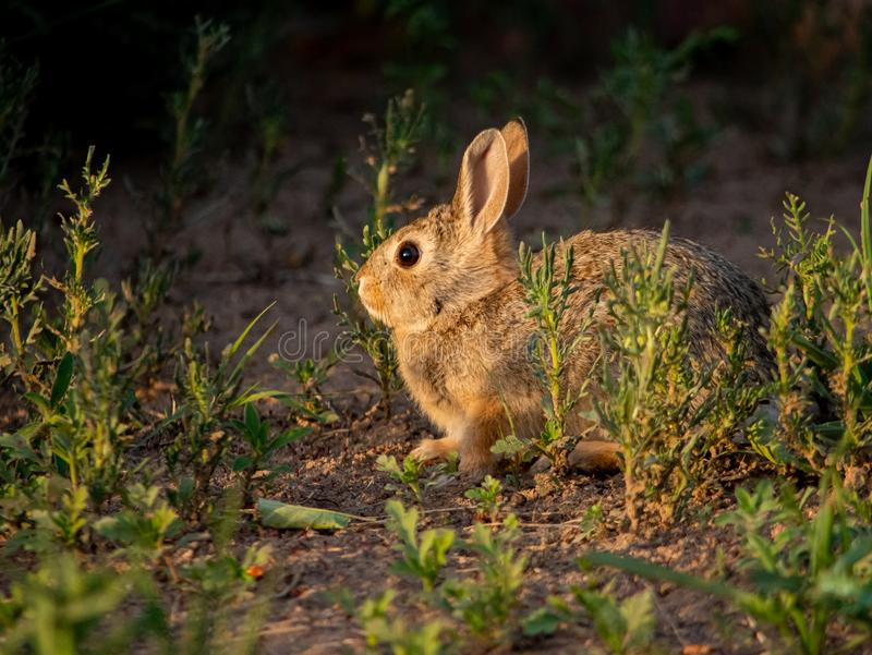 Closeup of adorable rabbit out in a field in evening light. Closeup of adorable rabbit in evening light out in a field. Nature, seasonal, educational concepts stock photography