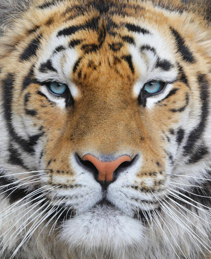 Closeup of an adult bengal tiger with blue eyes stock images