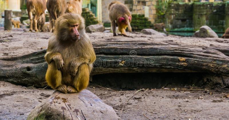 Closeup of a adult female hamadryas baboon sitting on a rock, popular zoo animals. A closeup of a adult female hamadryas baboon sitting on a rock, popular zoo royalty free stock photos