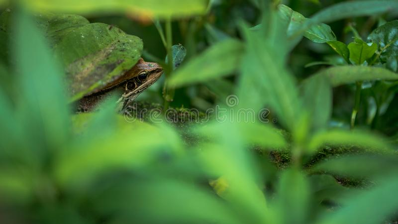 Closeup of adult frog rest on edge of pond with green vegetable leaves at Taiwan royalty free stock photos