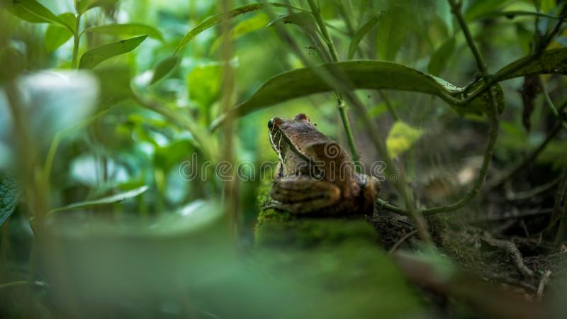 Closeup of adult frog rest on edge of pond with green vegetable leaves at Taiwan stock image
