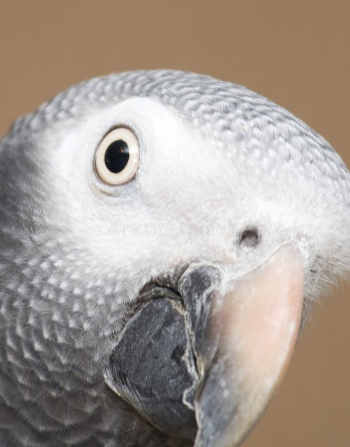 Closeup of African Grey Parrot stock image