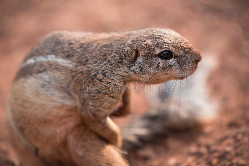 African Ground Squirrel xerus scuiridae twisted in action and looking at the camera, against a red soil background royalty free stock image