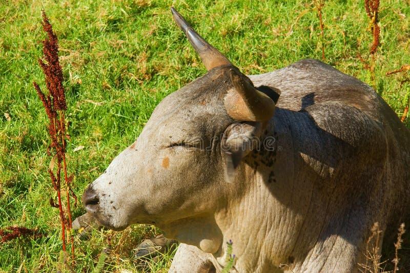 Closeup of African Nguni bull royalty free stock image