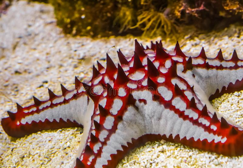 Closeup of a african red knob sea star, tropical starfish specie from the indo-pacific ocean, marine life background royalty free stock image