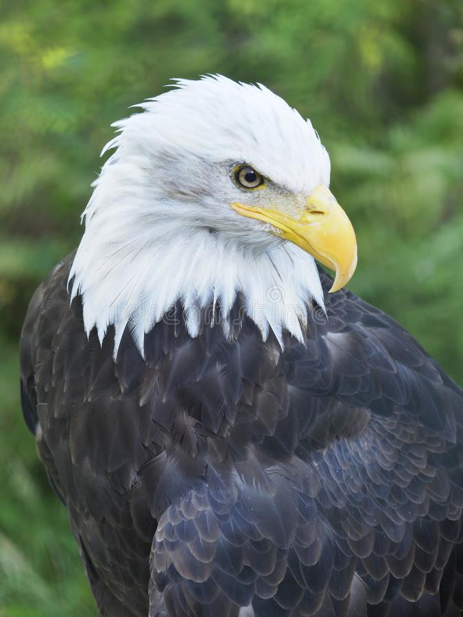 Closeup of an Alaskan Bald Eagle from a High Vantage Point stock images