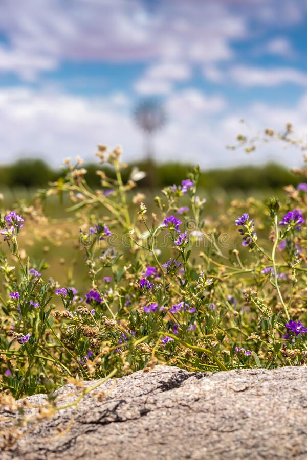 Closeup of alfalpha with purple flowers and a cloudy sky stock photography