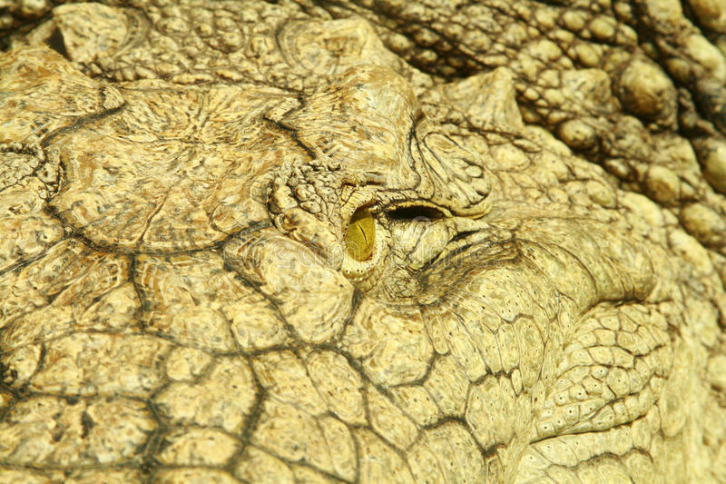 Closeup of an Alligator eye. Closeup of the eye of an Alligator stock photography
